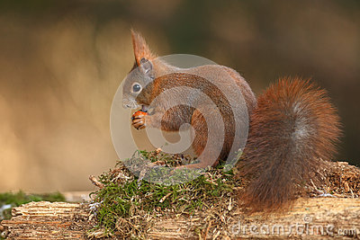 Red squirrel on a bed of moss