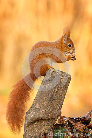 Free Red Squirrel Sitting And Eating A Hazel Nut Stock Photo - 35996080