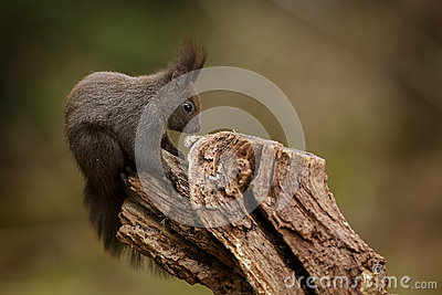 Red squirrel sitting on a textured log