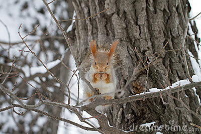 Red Squirrel in Tree and Snow
