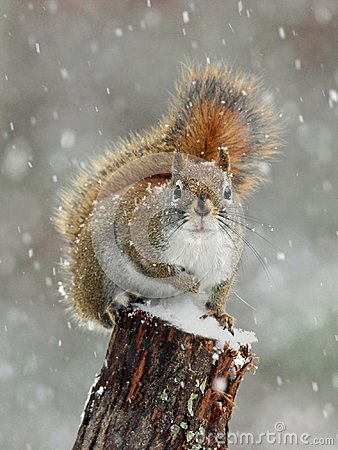 Free Red Squirrel Winter Snow Stock Photography - 103951152
