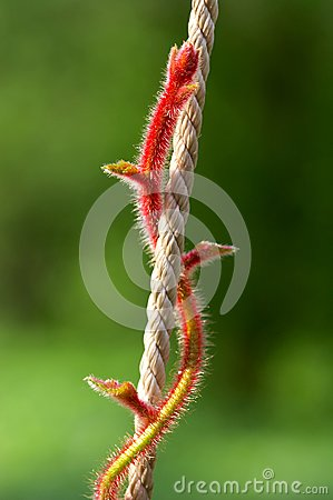 Red stalk