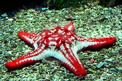 Red star fish Stock Photo