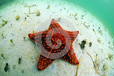 Red starfish in ocean