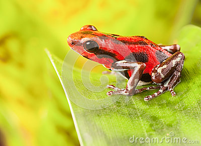 Red strawberry poison dart frog