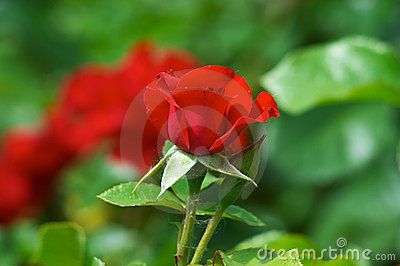 Red street roses