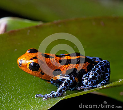 Free Red Striped Poison Dart Frog Blue Legs Royalty Free Stock Photos - 26137218