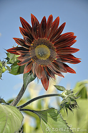 Free Red Sunflower Royalty Free Stock Images - 11577509