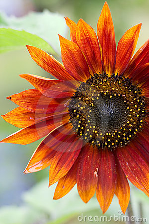 Free Red Sunflower Stock Photos - 19331023
