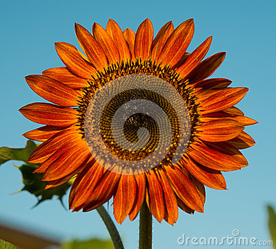 Free Red Sunflower Stock Photography - 58239762