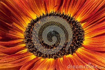 Red sunflower closeup