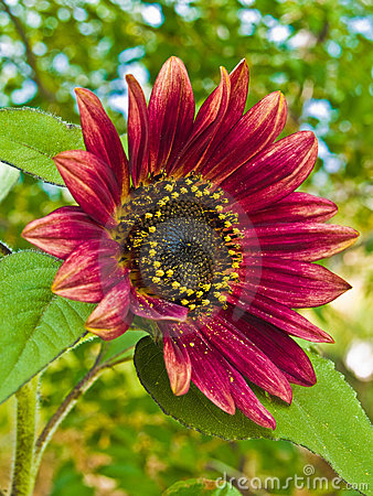 Free Red Sunflower, Helianthus Annus Stock Images - 12466424