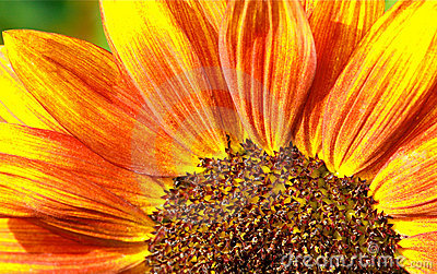 Red Sunflower Macro