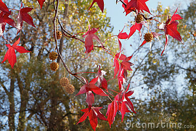 Red Sweetgum tree leaves