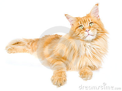 Red tabby Maine Coon on white background