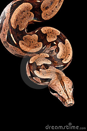 Free Red Tail Boa. Stock Images - 6703714