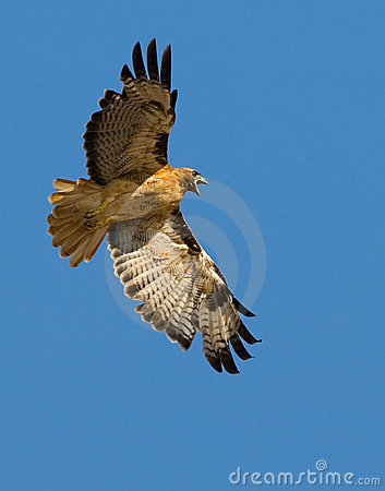 Free Red Tail Hawk Royalty Free Stock Photo - 5160315