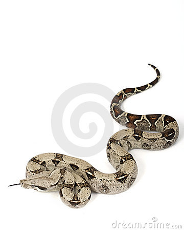 Free Red-tailed Boa (B. C. Constrictor) Stock Photos - 7261753
