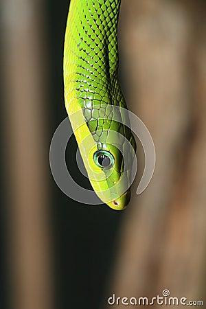red tailed green ratsnake