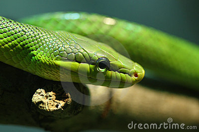 Red tailed green ratsnake