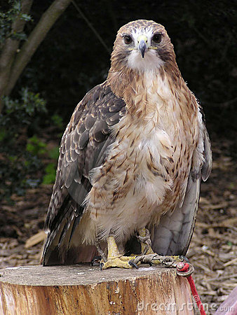 Free Red-tailed Hawk Royalty Free Stock Photography - 10527
