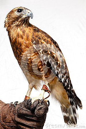 Free Red-tailed Hawk Royalty Free Stock Photos - 26956928