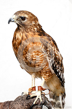 Free Red-tailed Hawk Stock Photos - 26956933