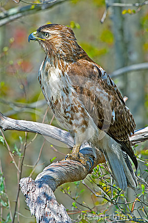 Free Red-Tailed Hawk Royalty Free Stock Photos - 32817018