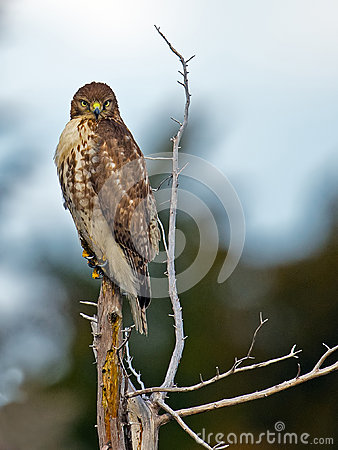 Free Red-Tailed Hawk Stock Images - 48609384