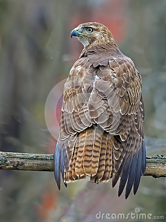 Free Red-Tailed Hawk Stock Images - 58856694