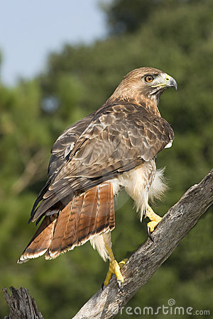 Free Red Tailed Hawk Royalty Free Stock Photography - 6567037