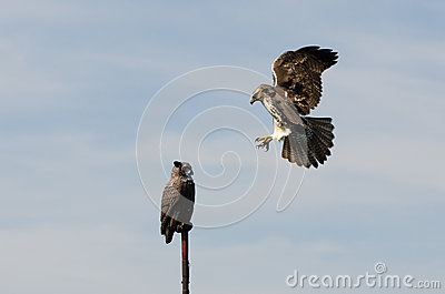 Red Tailed Hawk Attacking Artificial Owl