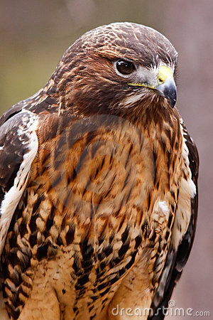 redtailed hawk with beautiful plumage stock photo image