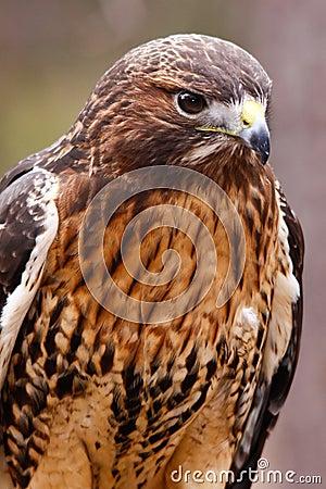 Red Tailed Hawk Beautiful Plumage