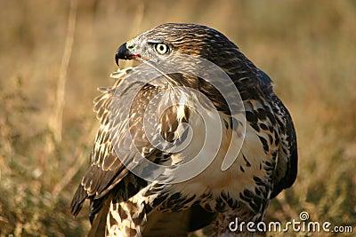 Red Tailed Hawk Blood On Beak