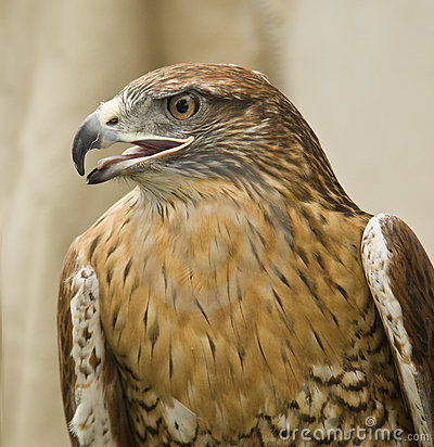 Red-Tailed Hawk, California