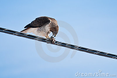 Red-Tailed Hawk Feeding on Catch