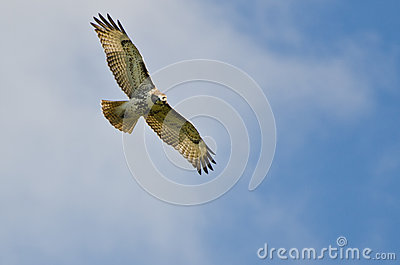 Red Tailed Hawk Flying In a Blue Sky