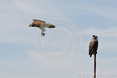Red Tailed Hawk Flying Past Artificial Owl