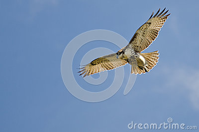 Red Tailed Hawk Kiting in a Blue Sky