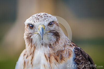 Red tailed hawk looking straight on