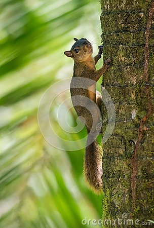 Free Red-tailed Squirrel Stock Photography - 103429152