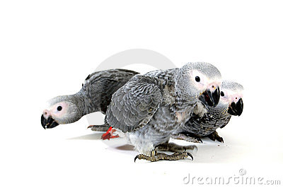 Red tale parrot  on white