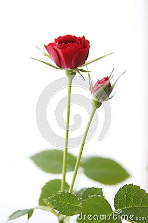 Free Red Tea-rose Stock Photos - 3910403