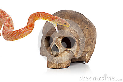 Red Texas rat snake with skull