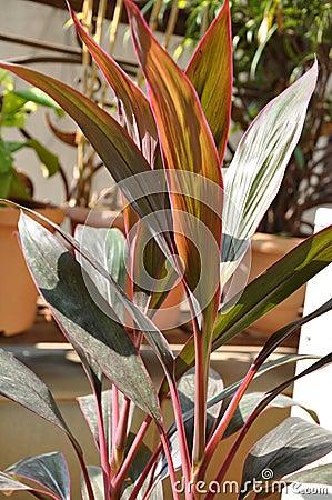 Red Ti Plant Six