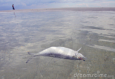 Red tide fish kill royalty free stock image image 12392206 for Tides for fishing sarasota