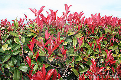 Red-Tipped Photinia