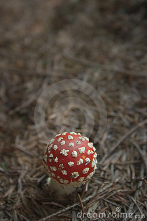 Red toadstool fly agaric