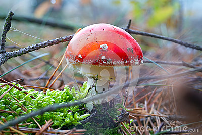Red toadstool in the forest close up